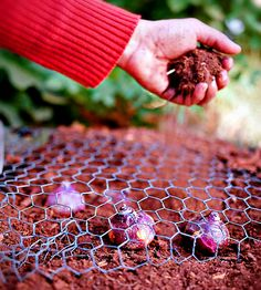Alternative Gardning: How to protect your bulbs from squirrels