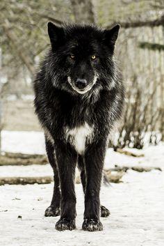 Black Wolf by Sharif Galal, MD