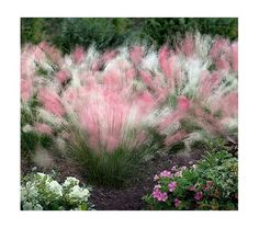 Cotton Candy Swirl Ornamental Grass