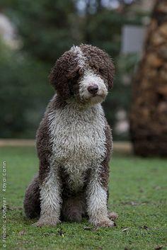 Spanish Water Dog.