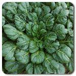 Organic Tat Soi Asian Green