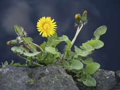 What if you were told that there is a simple remedy for health ailments such as liver disease, kidney stones, high blood pressure, high cholesterol, diabetes, anemia, acne, gout and arthritis? Would you believe it?  http://www.naturalhealingnews.com/dandelion-the-springtime-elixir/#  #health #nutrition