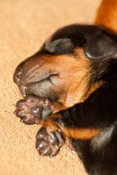 Miniature Dachshund Puppies by www.miniature-dachshund.co.uk, via Flickr