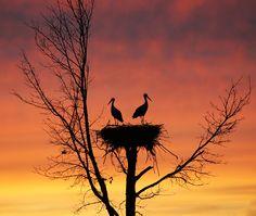 Heron/egret nest against the sunset