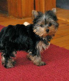 I want one!! Porkie puppy- Pomeranian/yorkie mix.