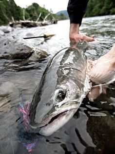 Fly fishing caught bull trout
