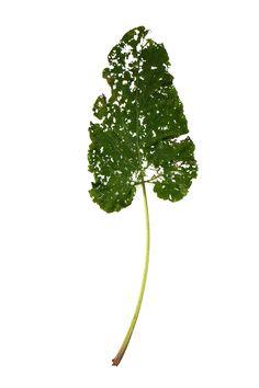bettle eaten burdock leaf (mary jo hoffman)