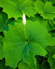Vanilla leaf, Achlys triphylla