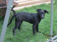 Diégo croisé labrador né le 01/05/2013  Diego a été sorti de fourrière.  C'est un adorable loulou, plein de vie, qui a de l'énergie à revendre et ne pense qu'à jouer Association AnimaLove(Somme)