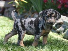 Louisiana Catahoula Leopard Dog puppy!