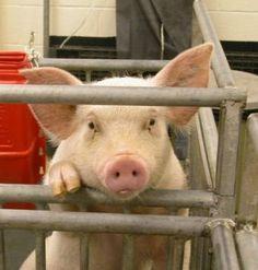 Raising Pigs - 5 Tips