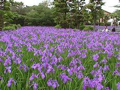 Yatsuhashi Iris garden. Carpet of Irises is a mysterious beauty.