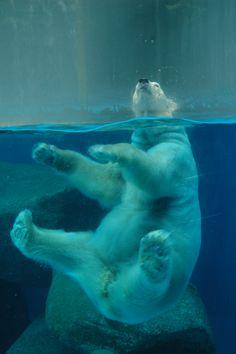 Polar Bear having fun in the water, Singapore Zoo