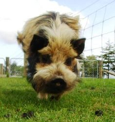 I think I may have to have kune kune pig <3