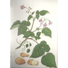 The potatoes of South America (Loose Leaf) http://www.amazon.com/dp/9290601434/?tag=wwwmoynulinfo-20 9290601434
