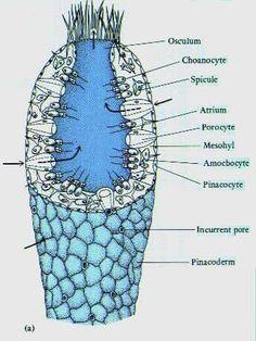 Phylum Porifera on Pinterest