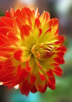 Dahlia dahlia beauti, beauti dahlia, garden beauti, dahlias, natur, dahlia flower, flowers garden, dahliabeauti flower, bright colors