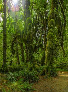 Hall of Mosses Trail, Hoh Rainforest, Olympic National Park, Washington