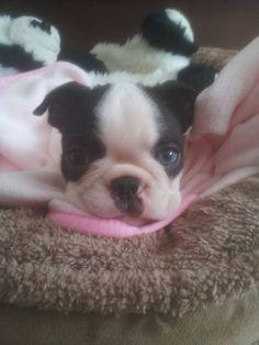 Beautiful Boston Terrier Puppy named Lola with One Blue Eye! https://www.facebook.com/bterrierdogs/