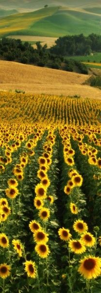 Sunflower Fields in Andalucia, Spain