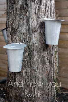 Tapping a Maple Tree for sap