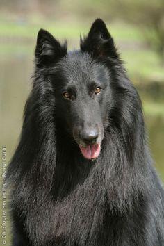 BELGIAN SHEPHERD DOG GRONENDAEL