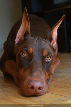 taking care of puppies, anim, old dogs, doberman dogs, doberman pinscher, beauti, dobermans, red doberman puppy, doberman puppies