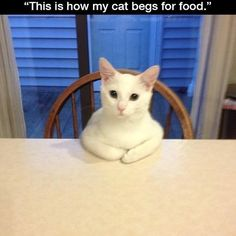"This Cat Doesn't Beg, He Negotiates * "" This is how my cat begs for food. "" * "" What are we having today? """