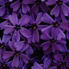 . color, purple flowers, purpl flower, violet, star, deep purpl, beauty, blossom, beauti flower