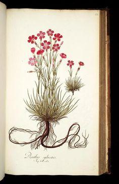 Dianthus sylvestris (Wood Pink). Plate from 'Icones Plantarum Rariorum'. Edited by Nicolao Josepho Jacquin (1781)