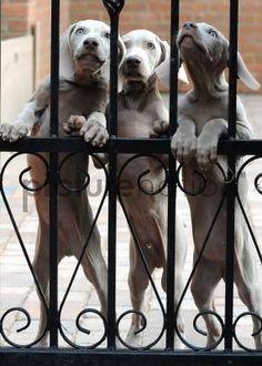 weimaran trio, puppies, weimaraner, dogs, woof, weimi, weimaran babi, weimaran puppi, dog art