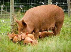 Oh piglets!