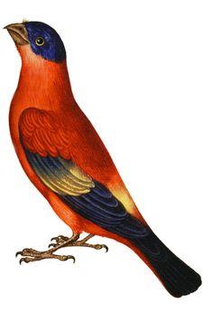 1599-1603  Ulisse Aldrovandi  Fringillidae. #animals #Ilustracion #Retro @deFharo