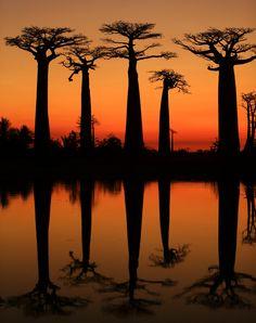 Avenue of the Baobabs, аллея Баобабов
