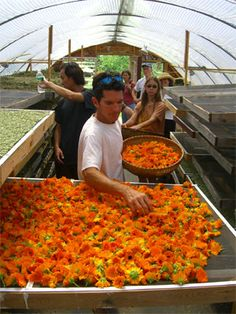 Drying Calendula: drying herbs so your herbs are vibrant and healthy!