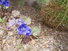 Desert bells, demo garden, Boyce Thompson Arboretum