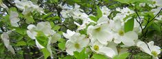 Flowering dogwood (Cornus florida) behind the backstop on the Sandy Beach field at #Yawgoog. Visible during the footchase sequence, the trees were an anachronism in Moonrise Kingdom; the trees were in bloom when the movie was filmed in May, but the story is set in September. On the Orange Trail.  Image by David R. Brierley.