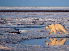 A polar bear walks i