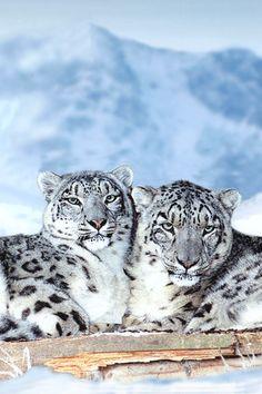 Snow #Leopards                                        #animals #wildanimals