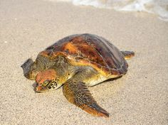 Turtle in the Galapagos Islands