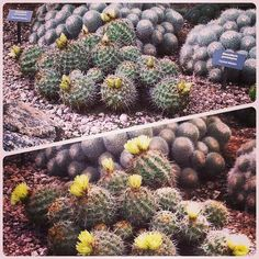 Coryphantha sp. blooming. Blooms were ready in the morning and had opened by 2 p.m. the same day.