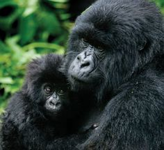 Gorillas in Africa's Virunga Mountains are increasing in numbers with the help of a UC Davis program that looks after people as well as the endangered apes.