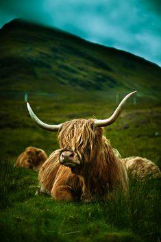 aurorae:    Highland Cow (by Luis Montemayor)