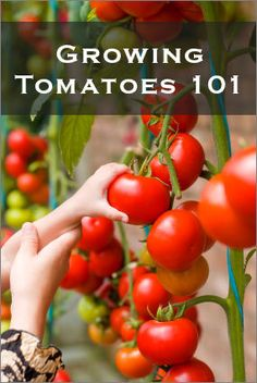 Tips for growing tomatoes.