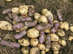 How to Grow Potatoes (slide-show)