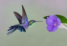 Hummingbird♥ Thunbergia flower♥