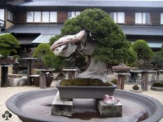 A remarkable tree which is well known for its extremely high age; the tree is reported to be over 800 years old, one of the most expensive bonsai trees! Its owner, master Kobayashi, is one of the most well known Bonsai artists in the world and has won the prestigious Prime Minister award in Japan 4 times. His nursery, ShunkaEn, is located in Tokyo and is open to visitors. For more information, read the Shunka-en Bonsai page, or check the Bonsai artist profile of Kunio Kobayashi. Bonsai empire.com
