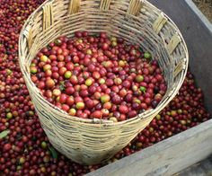 Did you know coffee comes from cherries? Great article about mexican coffee made in the Mexican state of Oaxaca