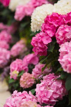 plant, pink flowers, white hydrangea, color, pink hydrangea