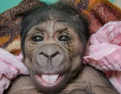 Weighing just over four pounds at birth, the healthy baby gorilla is the second baby born to mother Ndjole, an 18-year-old Western lowland g...